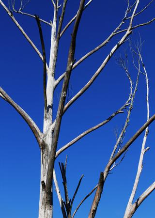 wizened: tree in blue sky