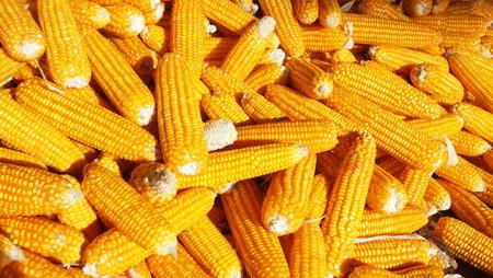 maize: maize