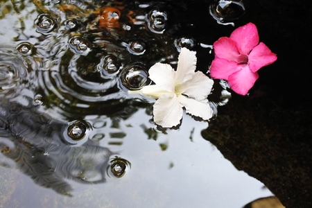The exotic hybrid Adenium flowers  fall on the pond