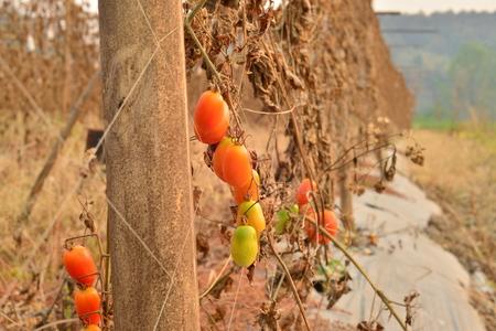 catastrophe: tomato farm Global Warming