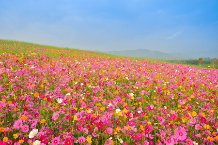 cosmos flower field Zdjęcie Seryjne - 50929629