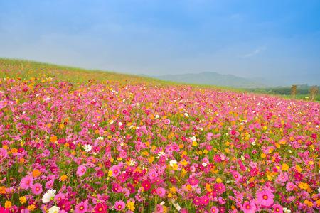 kosmos bloem veld Stockfoto