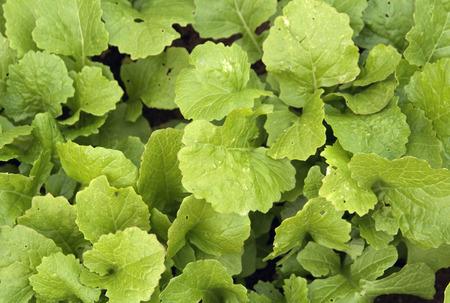 lettuce close-up Stock Photo