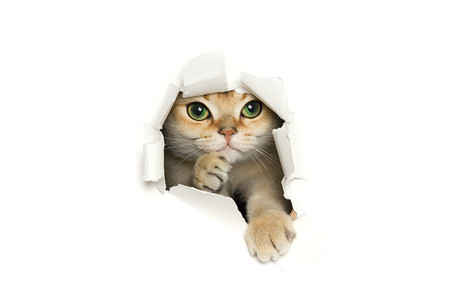 Funny cat peeking out of torn paper isolated on white background Stock Photo