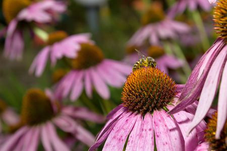 Bee on flower Echinacea Purpurea against natural green background