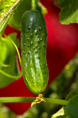 Detail photo of growing cucumber plant in garden closeup Stock Photo