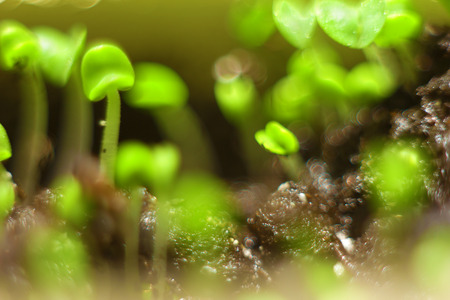 sprouted: Spring background bokeh. Sprouted sprouts closeup shallow depth of field