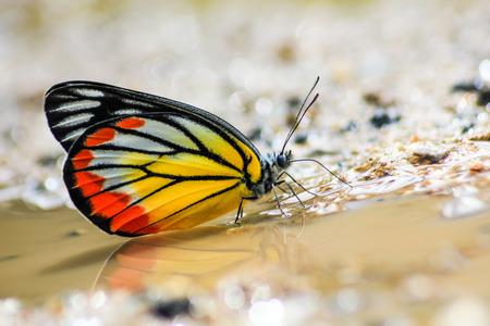 entomologist: The Painted Jezebel butterfly Stock Photo