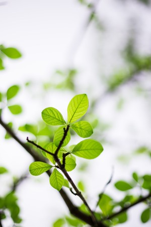 Fresh green spring leaves with translucent light coming through the leaves photo