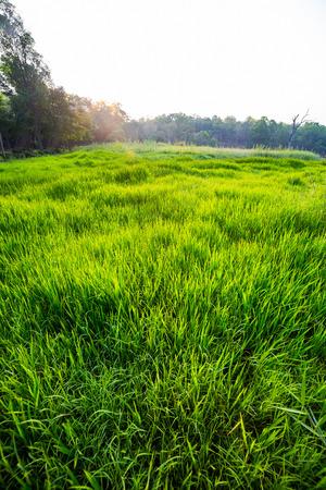 champ vert: morning light over the Green field