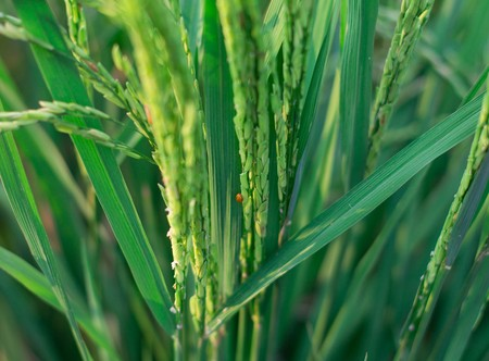 rice crop nearly ready for harvest photo