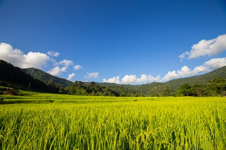 mountains and sky: Rice Paddy with blue sky