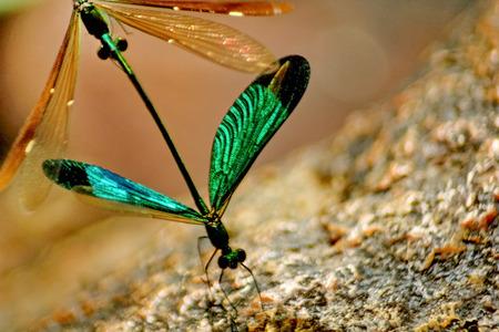 breed: Dragonfly breed Stock Photo
