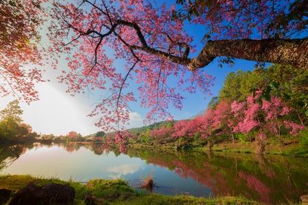 arbol de cerezo: los cerezos en flor en primavera