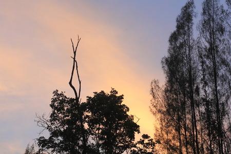 pine tree branch: Silhouette pine tree branch