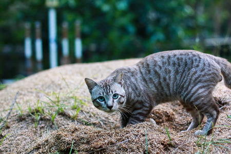 domestic cat: Gatto domestico in giardino