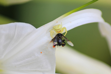 arachnophobia animal bite: Crab spider hunting a wasp on flower