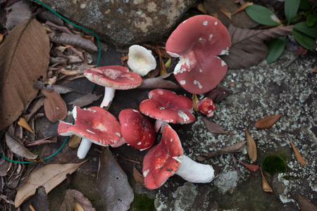 fairy toadstool: mushroom in the forest