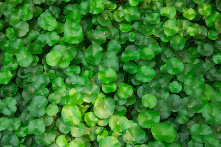 lush: Lush green carpet of clover