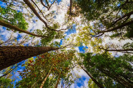 epiphyte: Looking up the trunk of a giant rainforest tree to the canopy Stock Photo