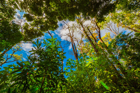 low angles: Looking up the trunk of a giant rainforest tree to the canopy Stock Photo