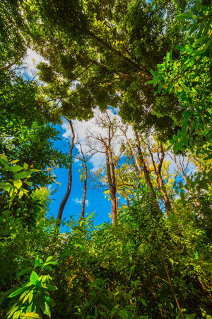 rainforest tree: Looking up the trunk of a giant rainforest tree to the canopy Stock Photo