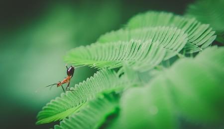 hormiga hoja: hoja verde hormiga roja