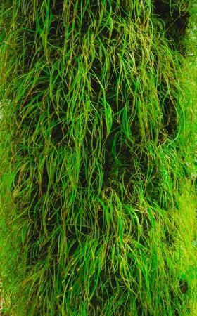bark rain tree: grass on bark tree Stock Photo