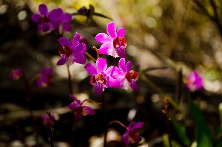 pulcherrima: Doritis pulcherrima from rainforest of thailand
