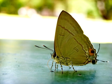 The Small Blue (Cupido minims), a butterfly from the Lycaenidae family. Stock Photo