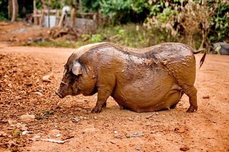 potbellied: Black pregnant pig on free range farm. Pregnant Pot-bellied pig, animal living farm