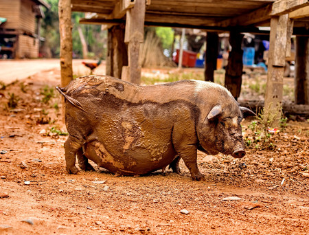potbellied: Black pregnant pig on free range farm. Pregnant Pot-bellied pig, animal living farm