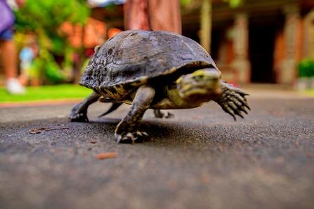 Turtle walking on the way Stok Fotoğraf