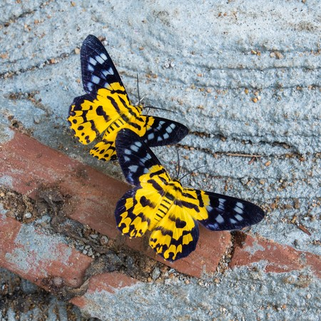 stomach bug: Close up of Dysphania militaris moths feeding in day time Stock Photo
