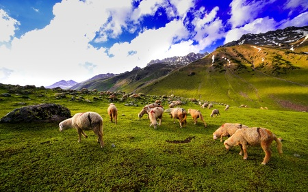 green hills: Sheep in the green hills of the mountains,Kashmir Stock Photo