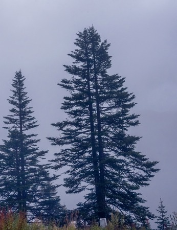 covered fields: fir trees on a meadow down the will to coniferous forest in foggy mountains of China