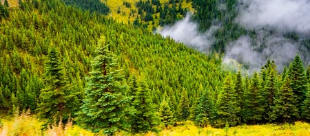 fir trees on a meadow down the will to coniferous forest in foggy mountains of China