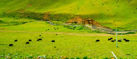 Cows grazing in fields with the foothills to the hills behind them near Buffalo, Wyoming Stock Photo