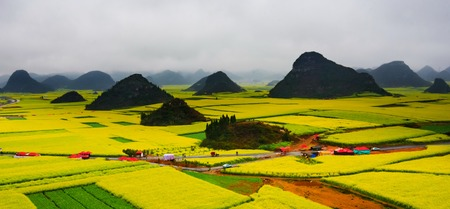 canola: Canola field, rapeseed flower field with the mist in Luoping, China