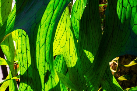 staghorn fern: Close Up of Staghorn Fern Leaf Texture Stock Photo