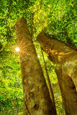 Looking up into a grove of old growth, majestic trees bathed in sunlight