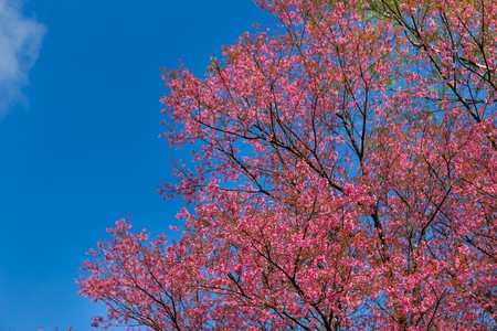 Close-up of peach flower and bud blooming under cloud blue sky. Branches of pink spring tree blossom.