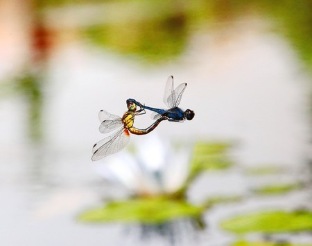 dragonflies in tandem Stock Photo