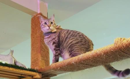 gray cat: Beautiful short hair cat