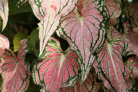 Colorful pink leaves of dumb cane exotica Background Pattern Abstract Pink Dieffenbachia Leaf Textured with Copy Space for Text Decorated. Stok Fotoğraf