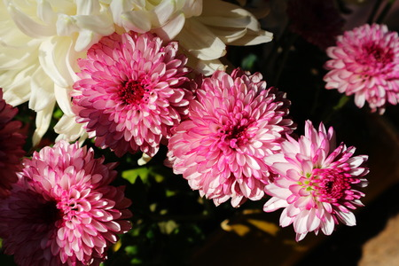 Beautiful lilac pink chrysanthemum as background picture. Chrysanthemum wallpaper, chrysanthemums in autumn.