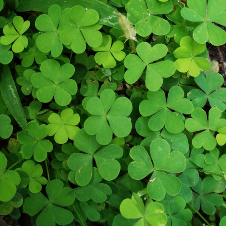 Field of a green clover background. Clovers three leaf. Different highs of the plants Stock Photo