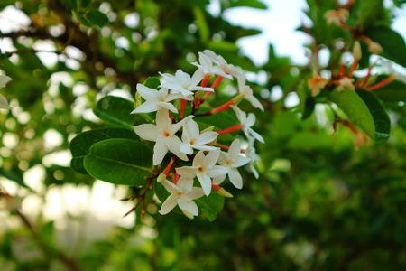 White Gardenia Flower (Gardenia jasminoides) with rain drops Stock Photo