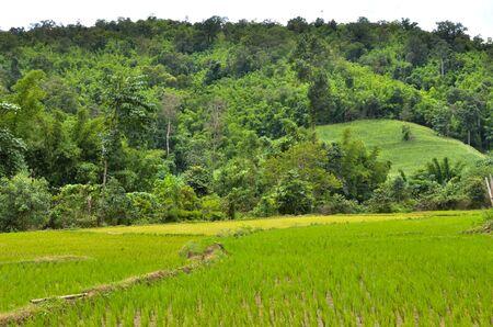 planting rice field on rainy season Asian agriculture Stock Photo