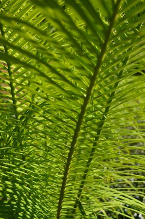 Green palm leaf Nature backgrounds Stock Photo
